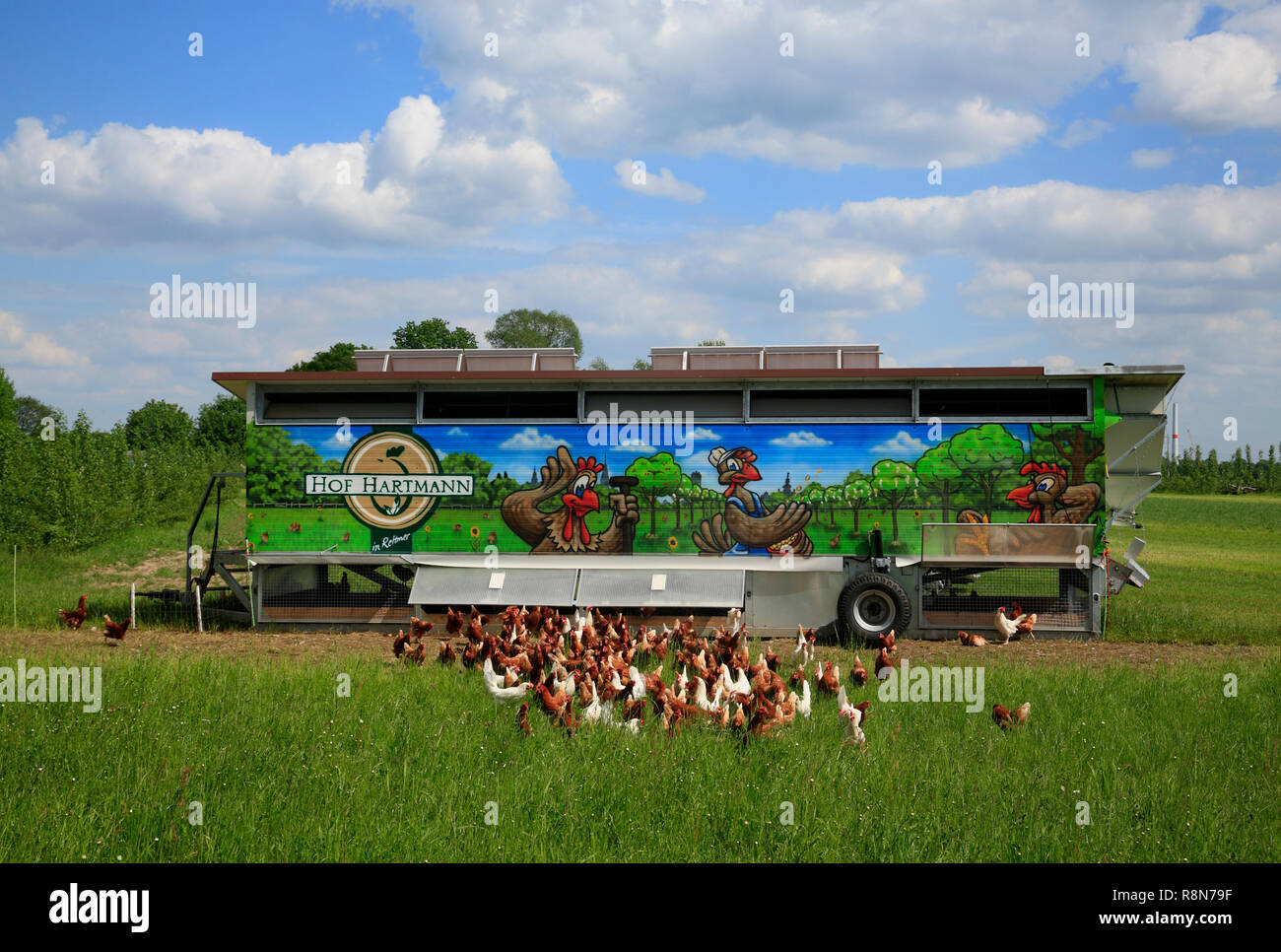 free growing chicken, Rettmer near  Lueneburg, Lüneburg, Lower Saxony, Germany, Europe - Stock Image