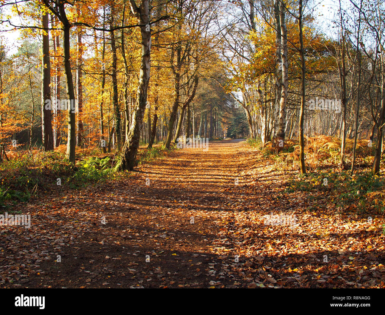 View of woodland pathway on a sunny autumn day, Harlestone Firs, Northamptonshire - Stock Image