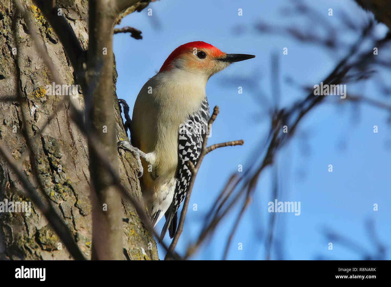 The red-bellied woodpecker (Melanerpes carolinus). Is a medium-sized woodpecker.American bird occurring mainly in the eastern United States. - Stock Image