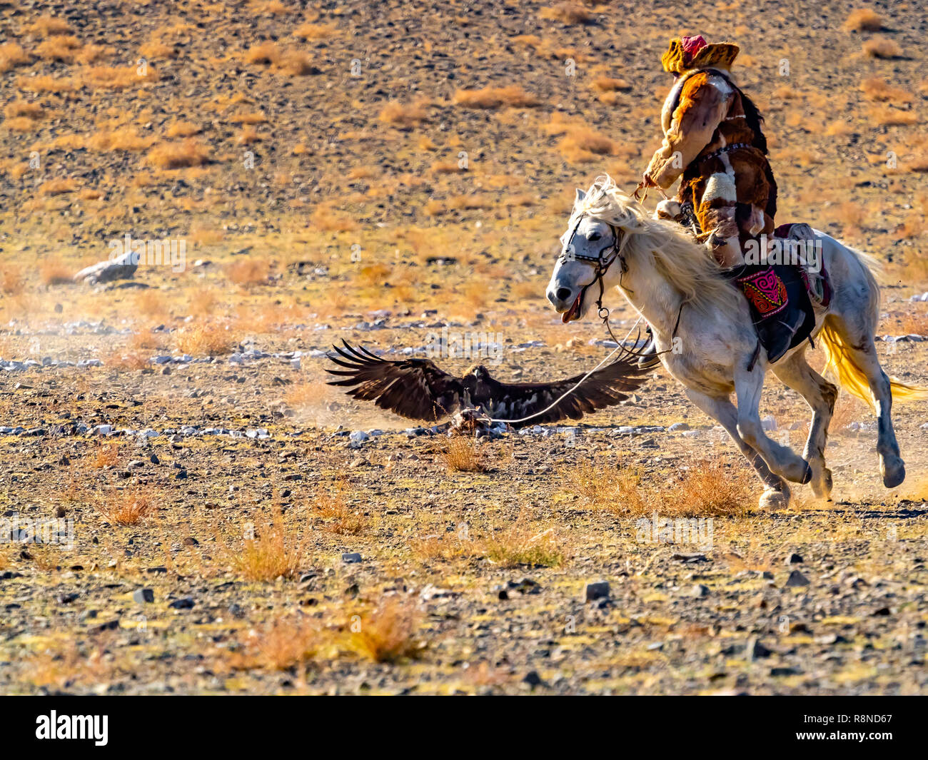 Mongolian Eagle Hunter in traditional fox fur clothing astride on horse and the eagle hunter attacks the prey on the floor in the competition of The G Stock Photo