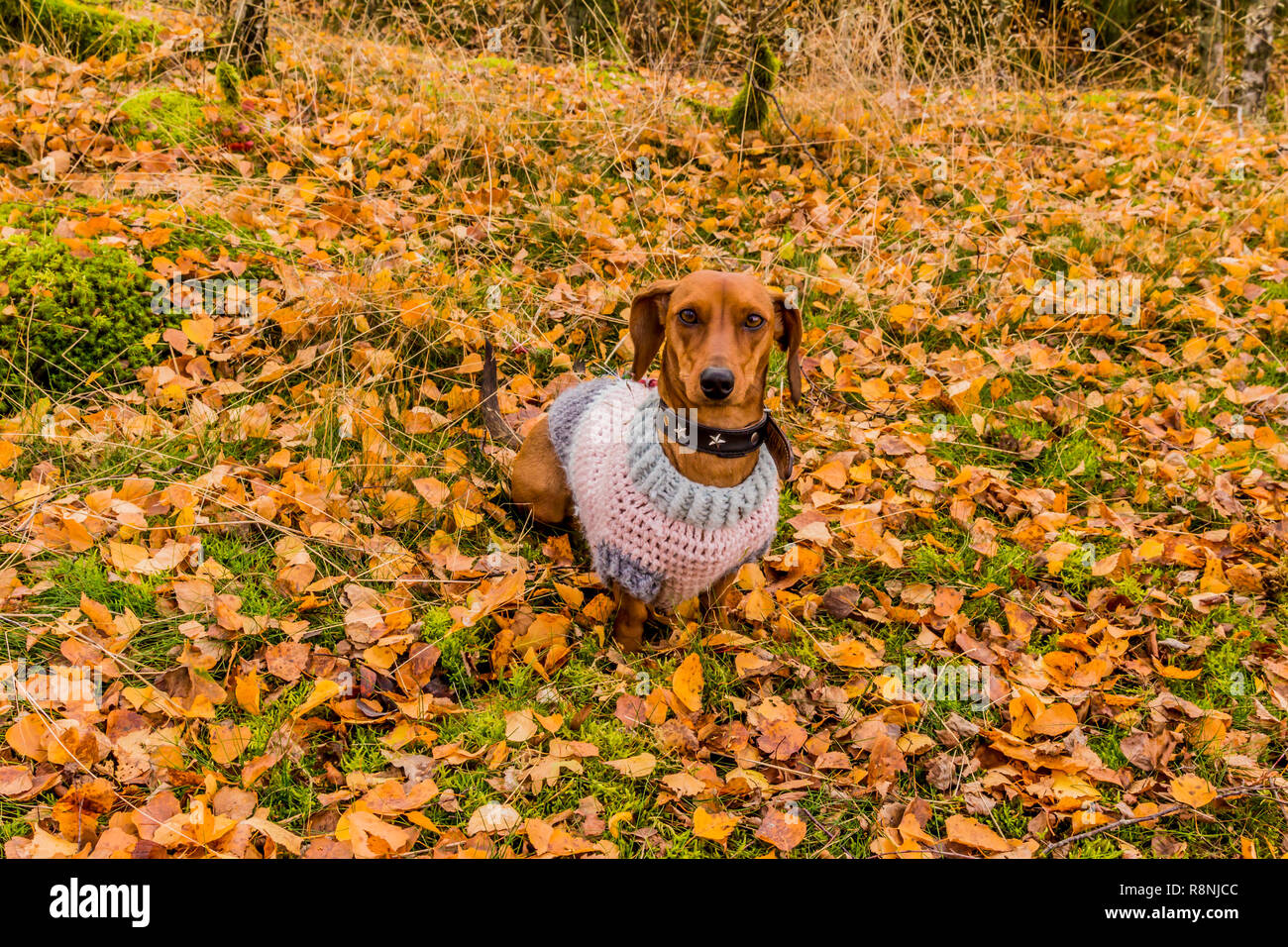 image of a dachshund with a sweater sitting very attentive on grass covered with yellow leaves in the forest on a wonderful autumn day Stock Photo