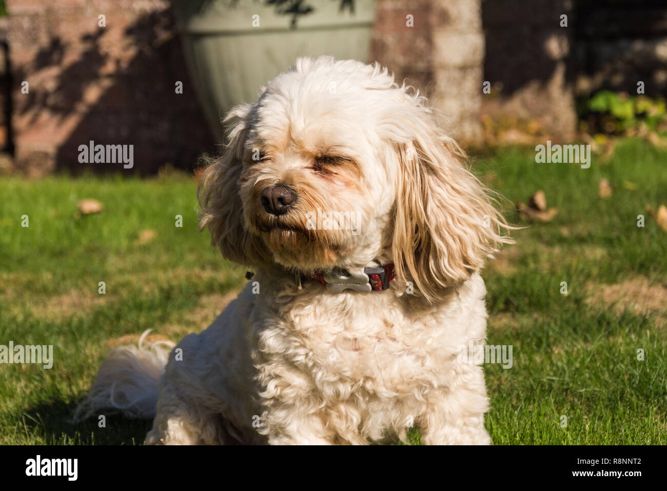 Portrait of a male Cavachon dog (Canis lupus familiaris) pulling a funny face (squinting almost!) - Stock Image