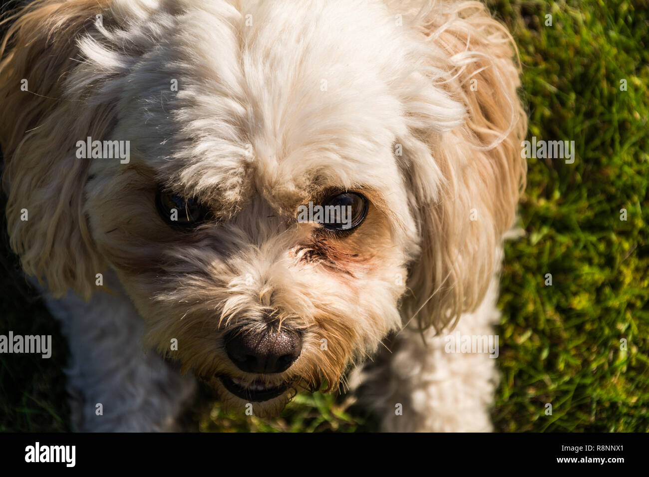 Portrait of a male Cavachon dog (Canis lupus familiaris) looking up at the camera in a menacing way. - Stock Image