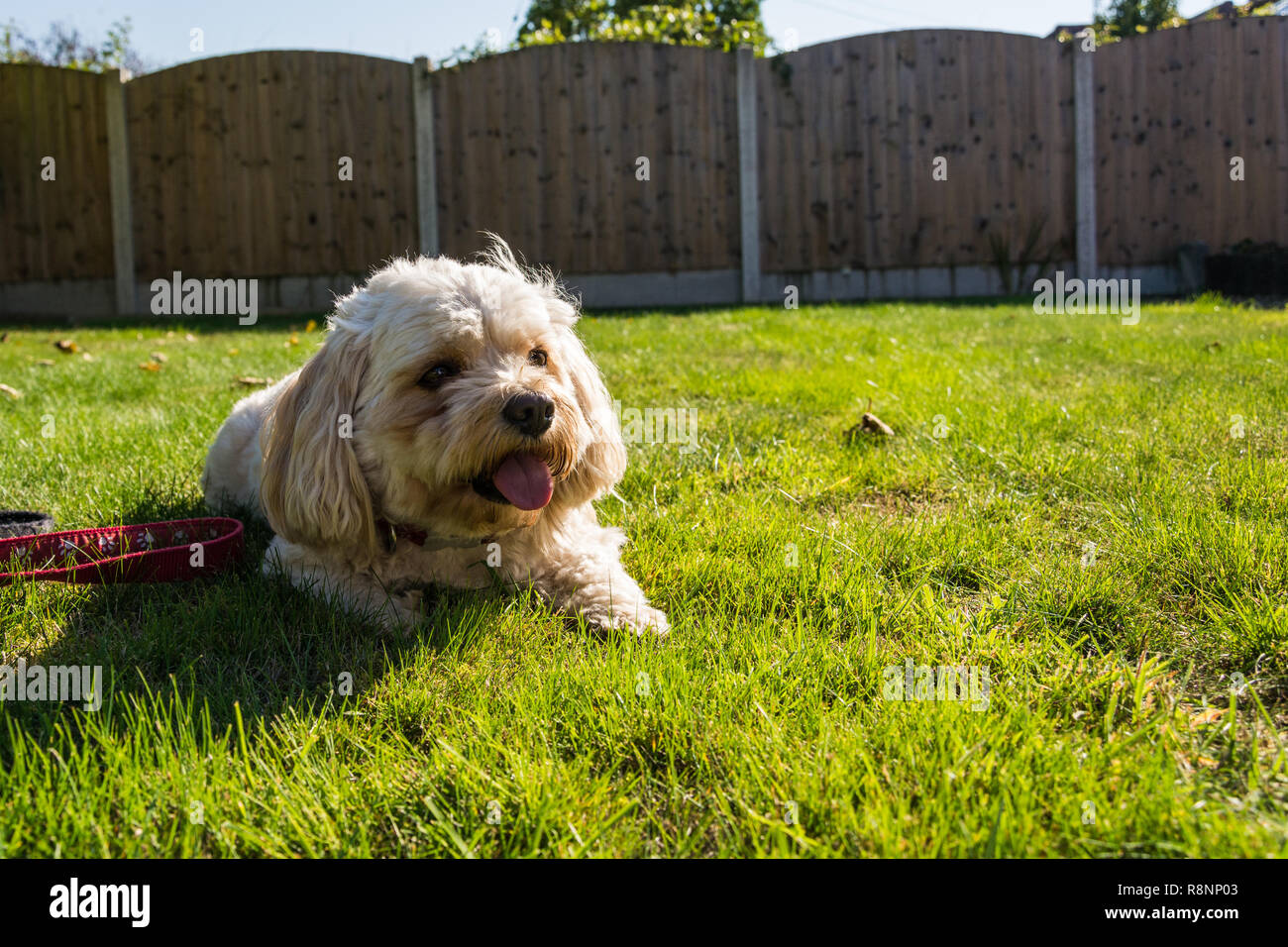 Portrait of a male Cavachon dog (Canis lupus familiaris) relaxing in the sun, panting after a good run around. - Stock Image