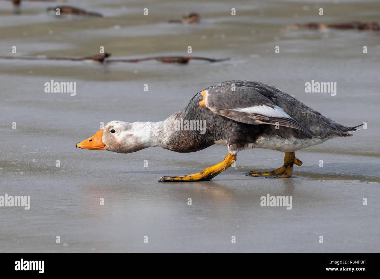 United Kingdom, Falkland Islands, West Falklands, Carcass Island. Adult Falkland flightless steamerduck (Tachyeres brachypterus) 'sneaking' around the - Stock Image