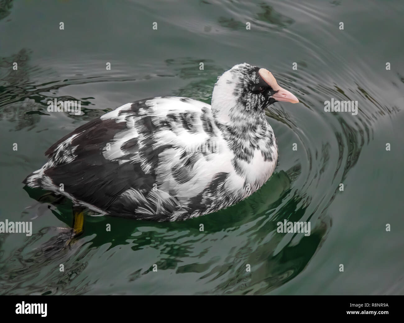 An unusual partial albino (Leucism) coot on the shores of the Upper Zurich Lake (Obersee), near Rapperswil, Sankt Gallen, Switzerland - Stock Image