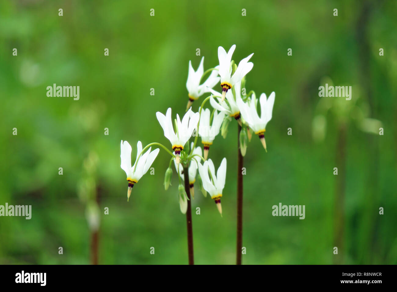 Dodecatheon blooming in the forest. - Stock Image