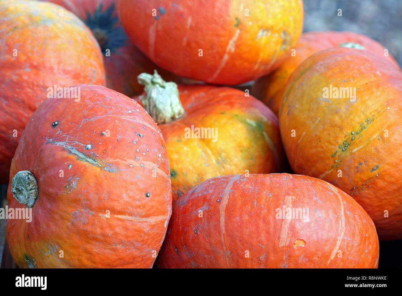 Red Kuri Squash Stock Photo