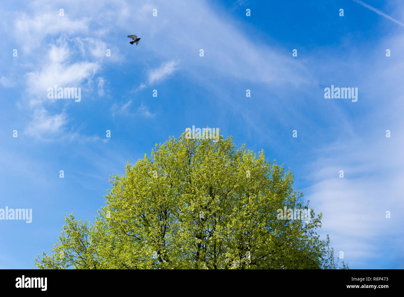 Flowering green Tree Tops in fron of a blue Sky on a fresh Morning. - Stock Image