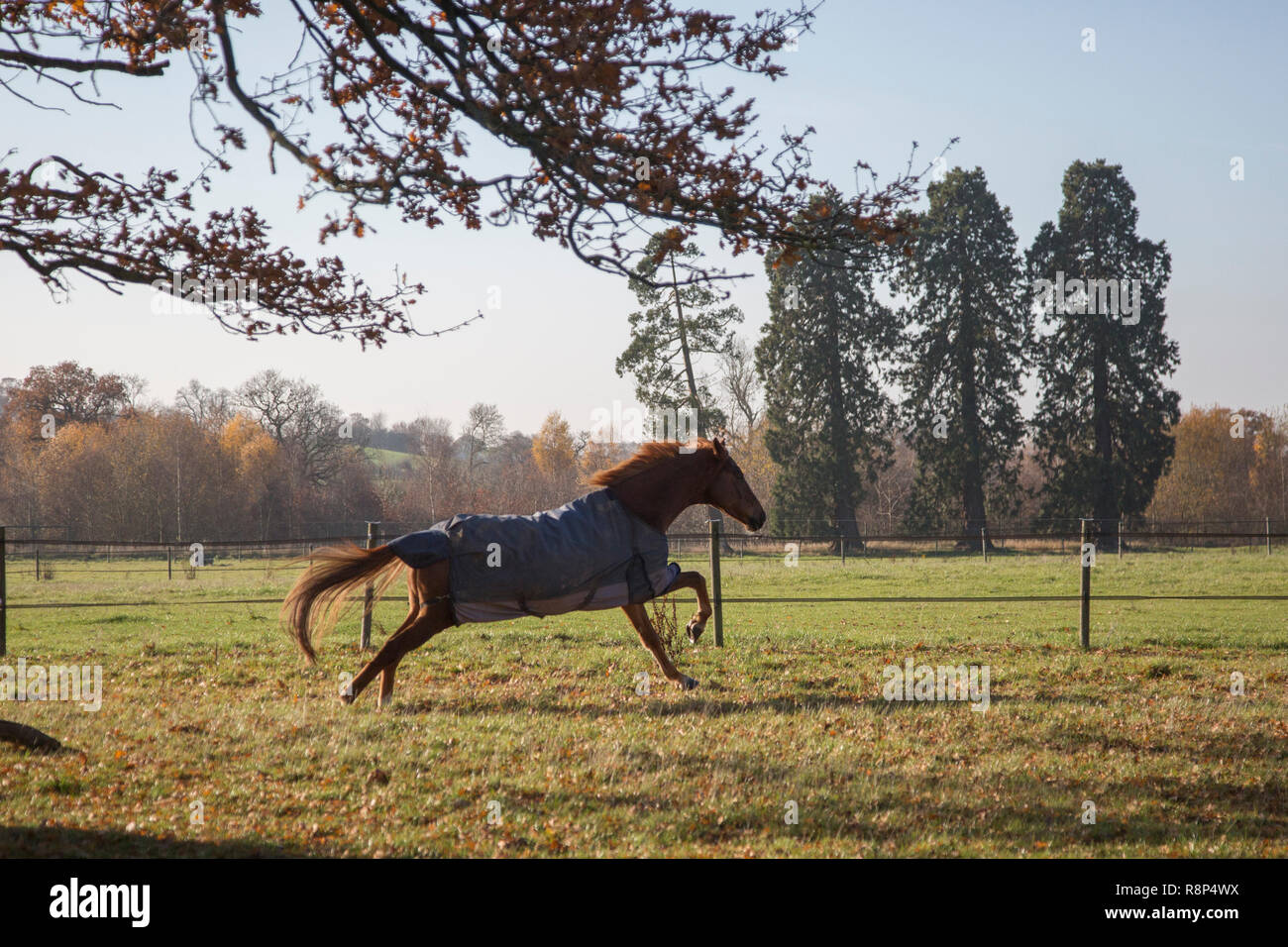 horse running round field with it's rug on having a lovely time in the field on a sunny autumnal day in the English countryside - Stock Image
