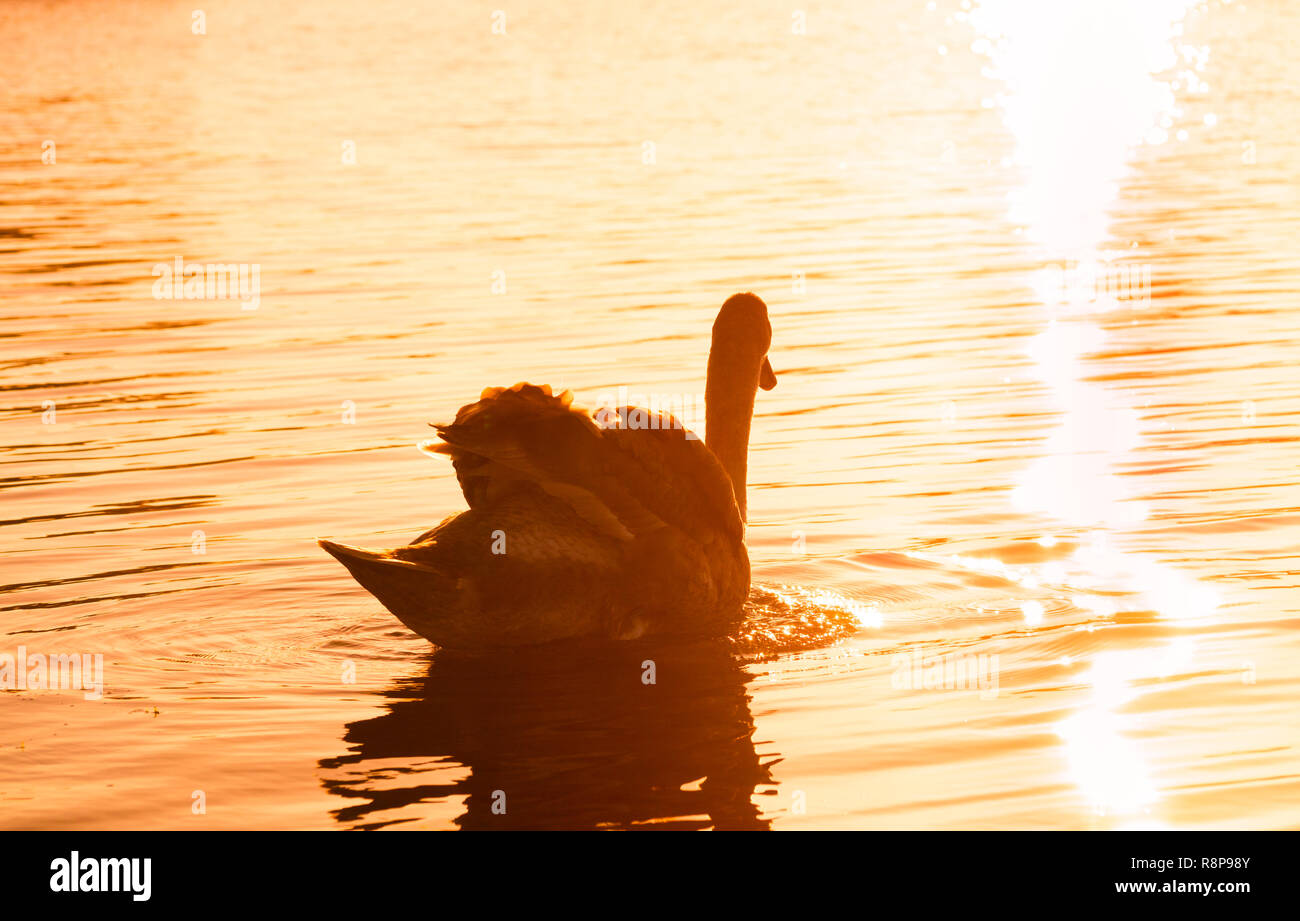 Closeup of a beautiful white swan (Cygnus olor) who swims alone in the sunset. Stock Photo