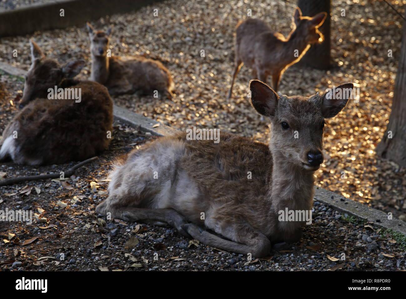 Sika deers in Nara park, Japan. - Stock Image