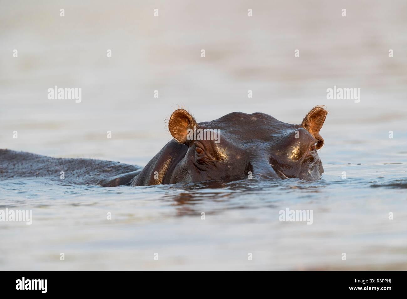 Bostwana, Chobe National Park, Chobe river, Common hippopotamus or Hippo (Hippopotamus amphibius), in the water Stock Photo