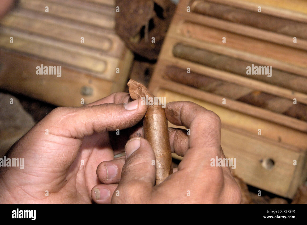 Closeup of hands making a cigar from tobacco leaves. Traditional manufacture of cigars in Cuba - Stock Image