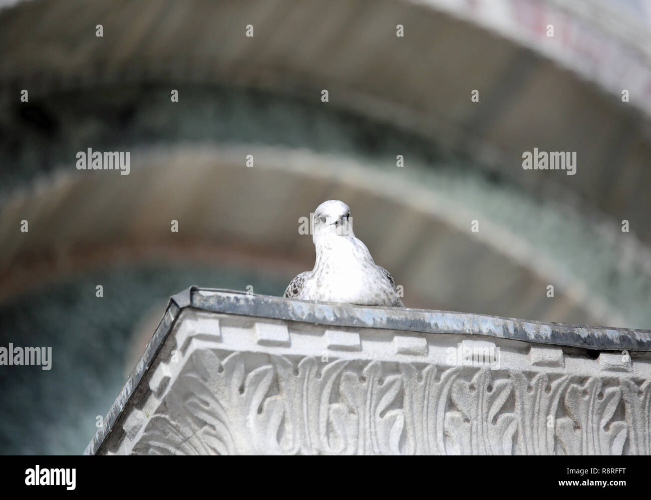 curious seagull looks at the photographer from above a decorated column - Stock Image