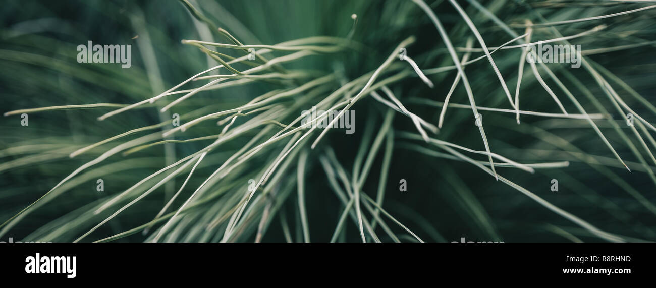 Grass Tree (Xanthorrhoea) - Stock Image