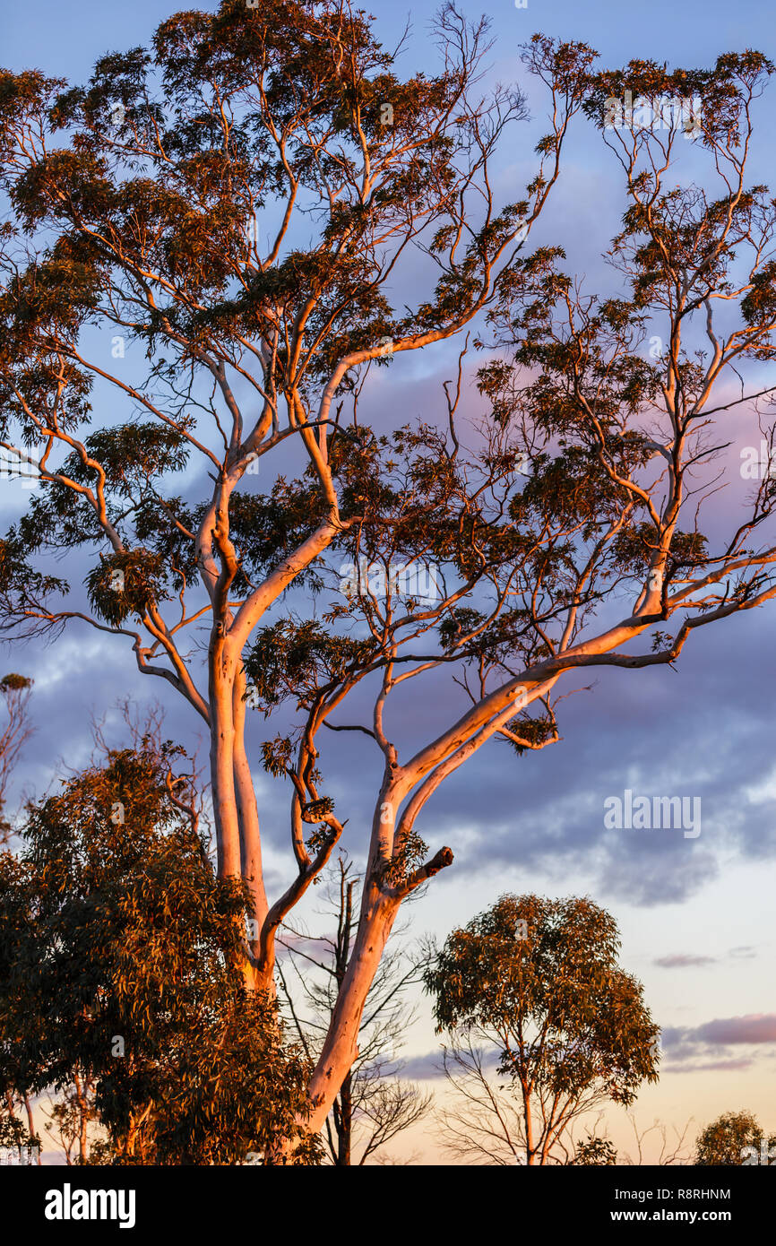 Tree in Sunset light, Mt Dale, Western Australia - Stock Image