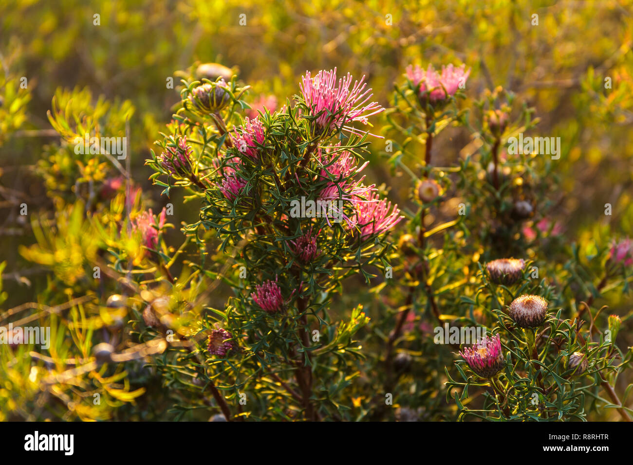 Western Australian native flower - Stock Image