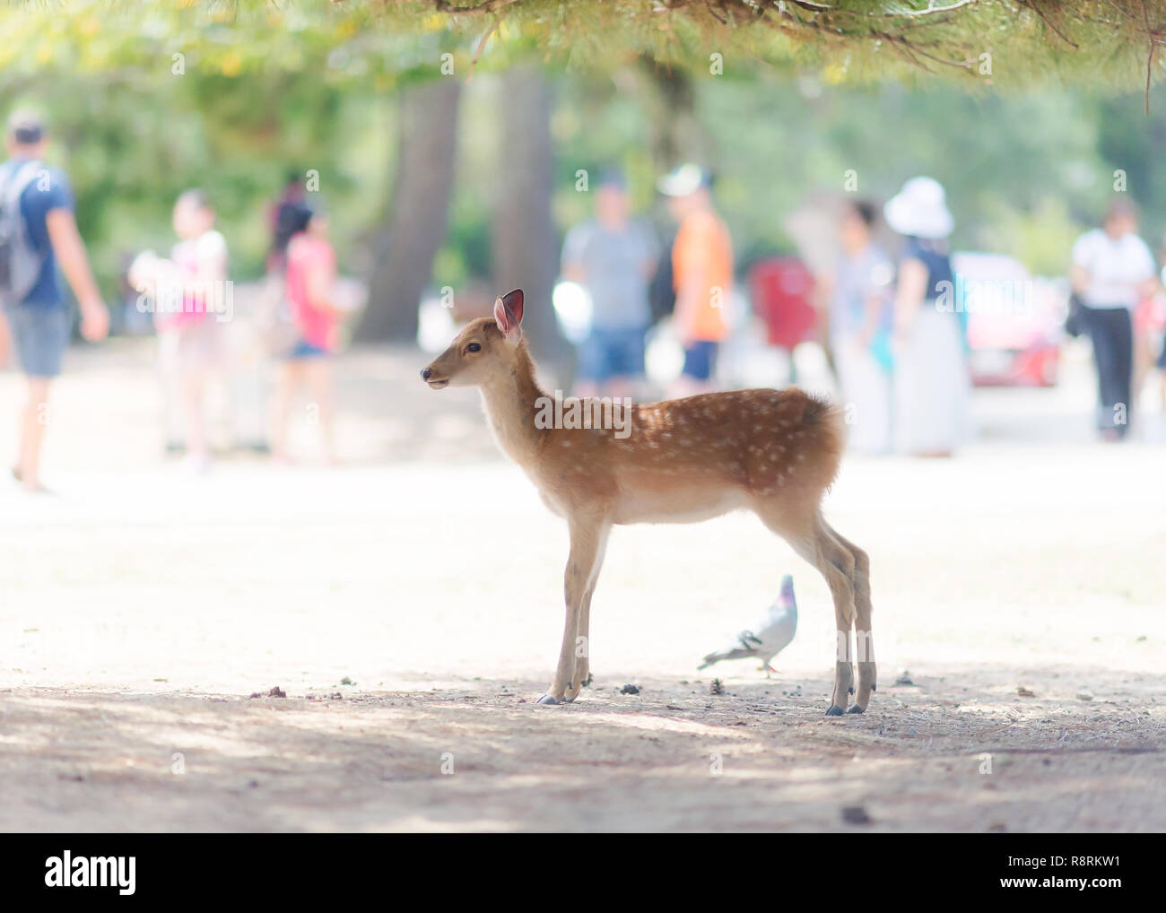 Youg cute deer in Japan in a very bright environment - Stock Image