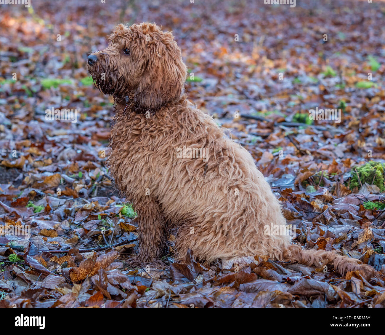 A young cockapoo puppy sitting in the woods amongst the autumn leaves Stock Photo