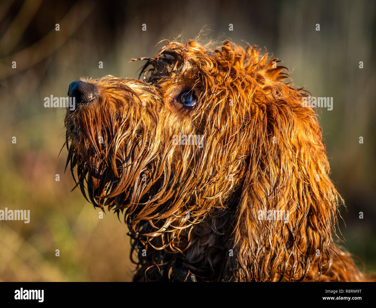 A very wet cockapoo puppy sitting attentively waititng on its owners commands - Stock Image