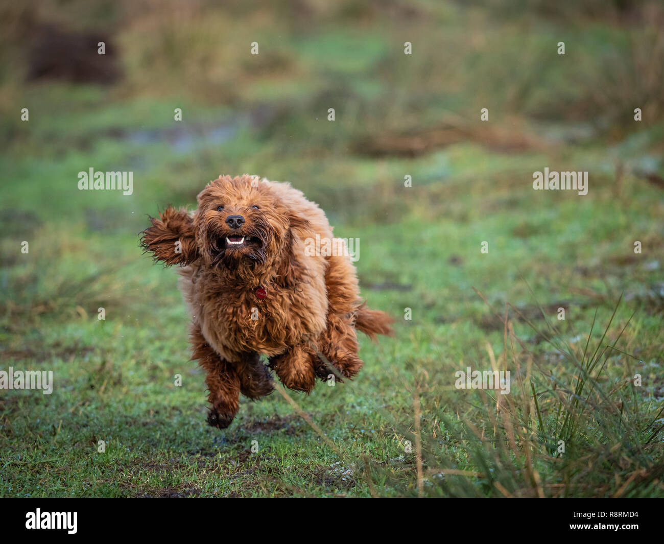 A young cockapoo puppy running and  playing in a field on a cold frosty morning - Stock Image