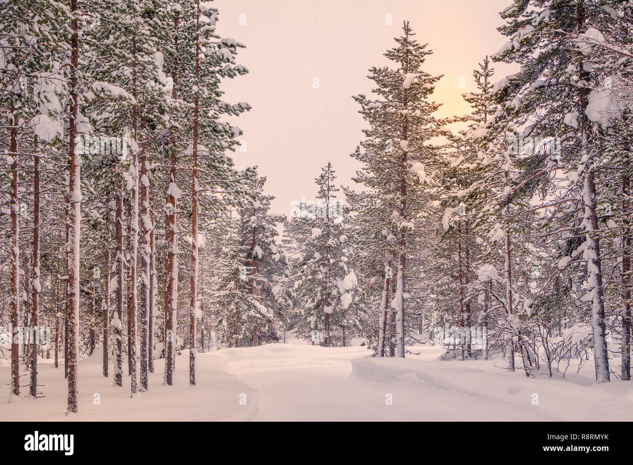 Finnish Lapland. A lot of snow in the pine forest. The sun barely shines through the overcast - Stock Image