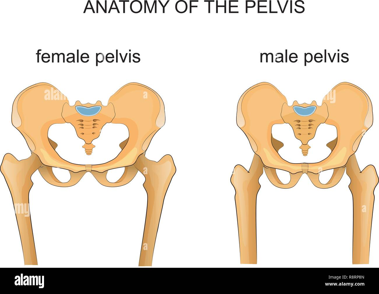 vector illustration of a comparison of the skeleton of the male and female pelvis - Stock Image