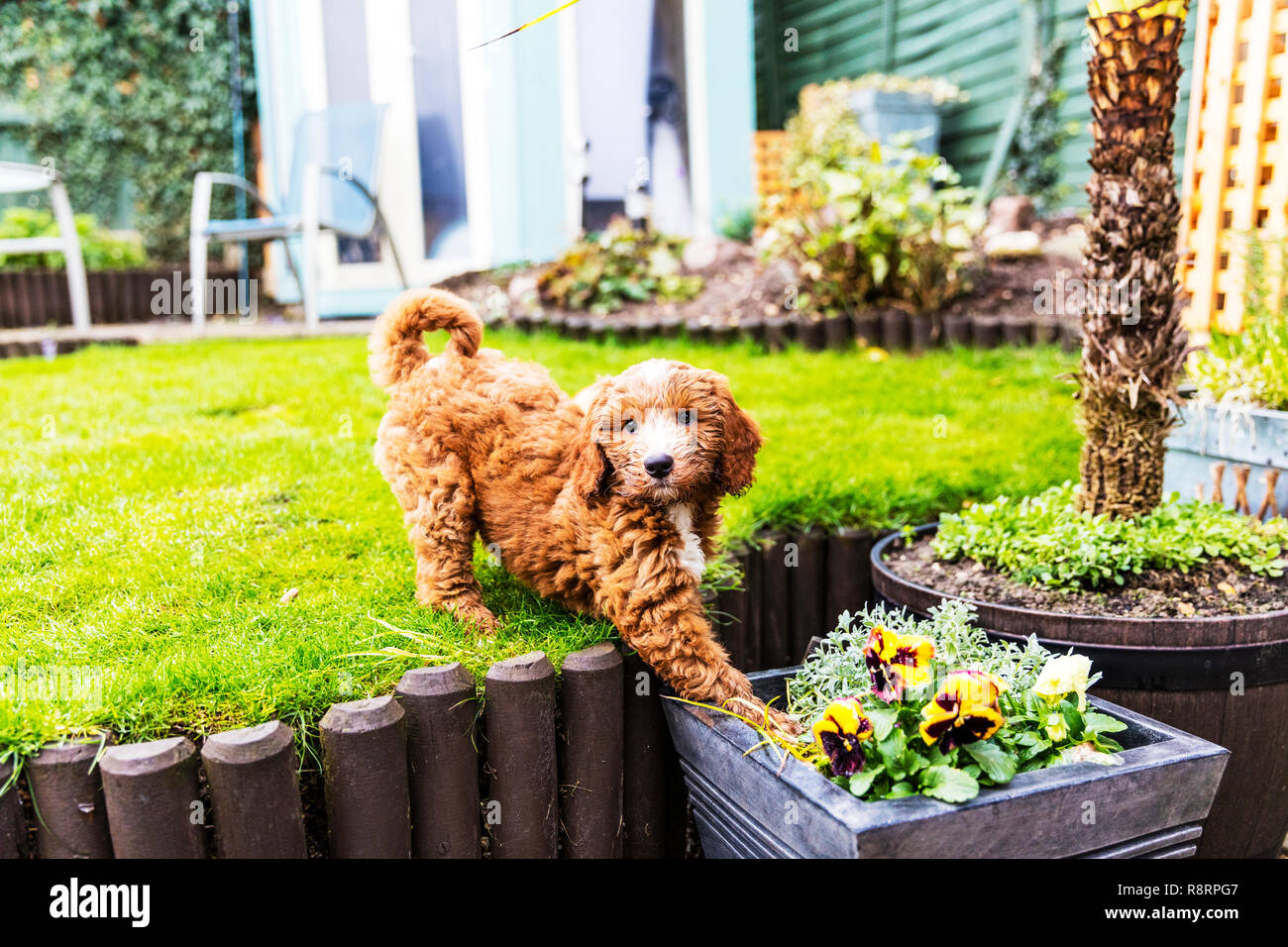 Mischievous dog, Mischievous puppy, cheeky puppy, cheeky dog, puppy, dog, cockapoo, naughty puppy, naughty dog, up to no good, naughty, cheeky, puppy Stock Photo