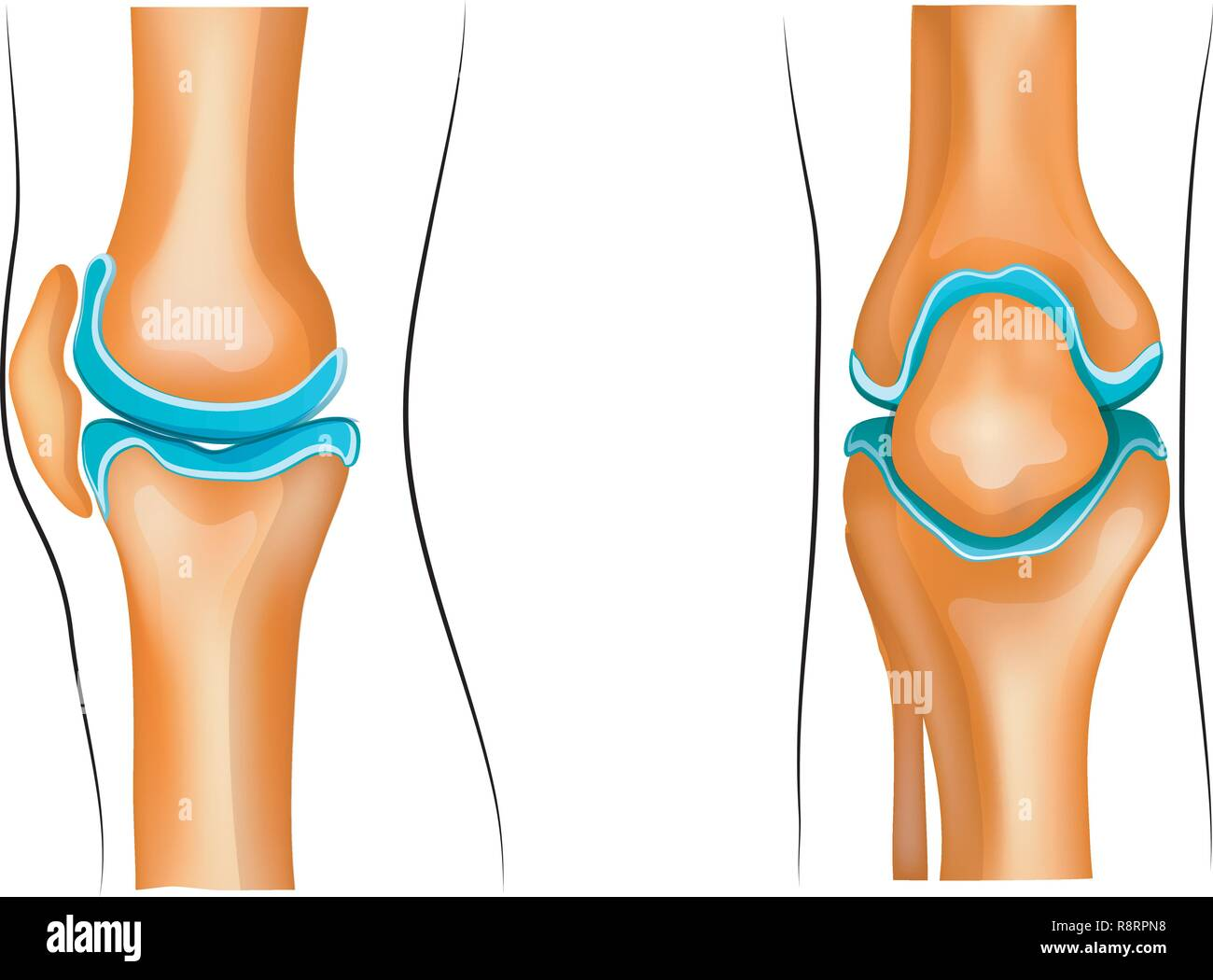 vector illustration of a healthy knee joint - Stock Image