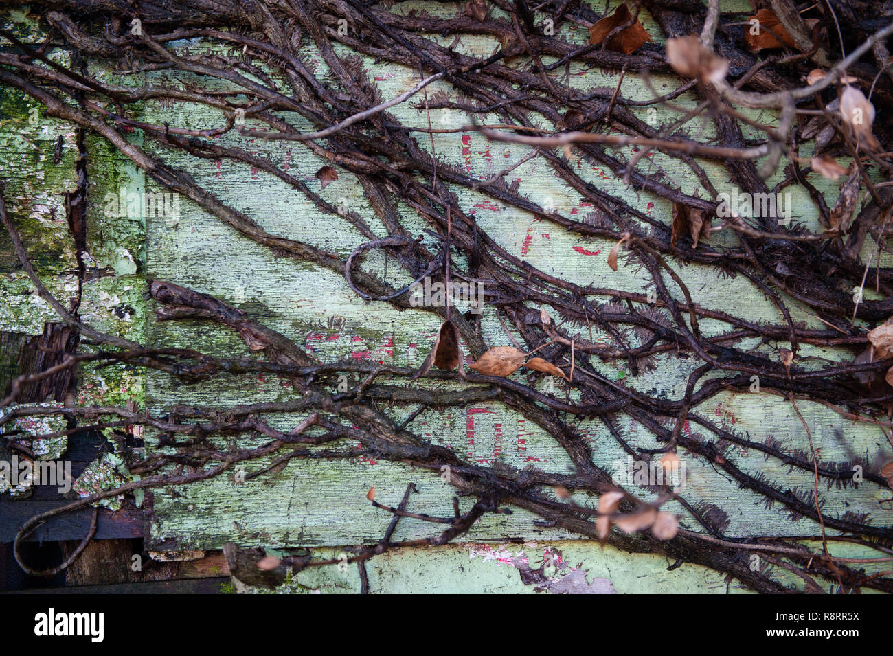 Parasitic growth with tendrils on old wooden fence. - Stock Image