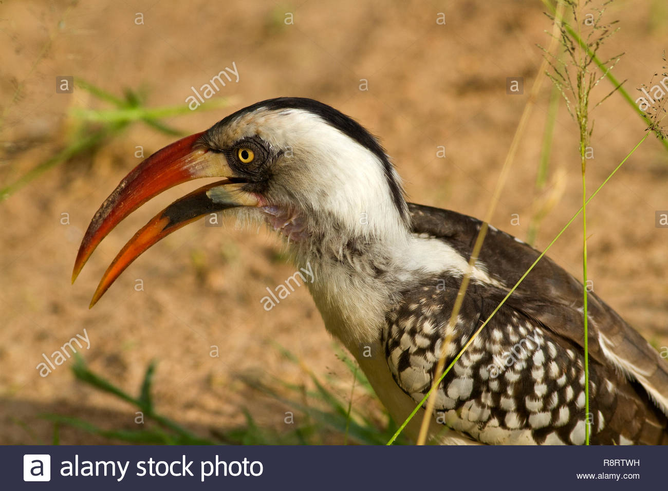 Portrait of the Ruaha Red-billed hornbill showing the distinctive colouration around the eyes and the bill of the male which has made this a new speci - Stock Image