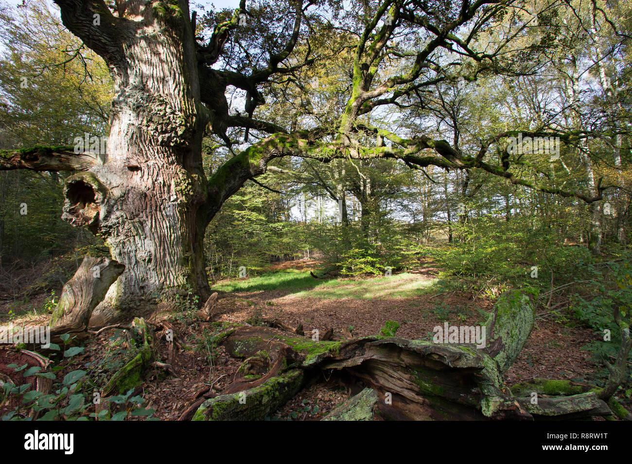 Urwald, Wald, natürlicher Mischwald, Eichenwald, Totholz, Baumriese, alte Eiche, Quercus, primeval forest, virgin forest, deadwood, dead wood, oak, oa - Stock Image