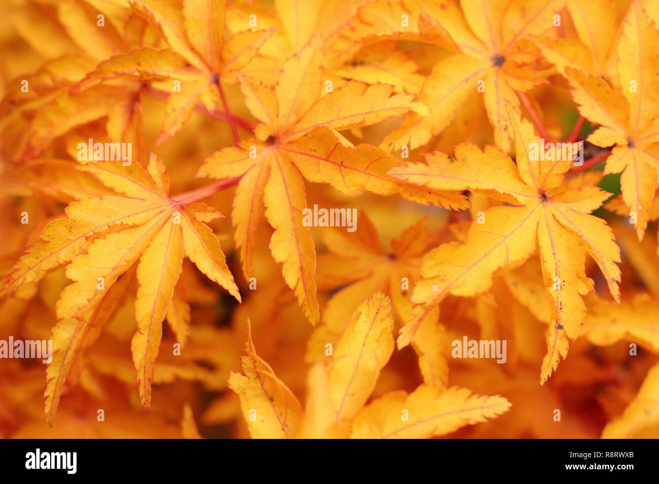 Acer Palmatum Shishigashira Crispifolium Japanese Maple