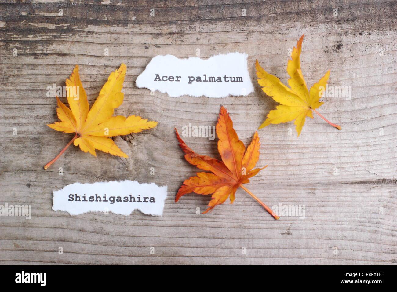 Acer Palmatum Shishigashira Japanese Maple Leaves Showing Autumn