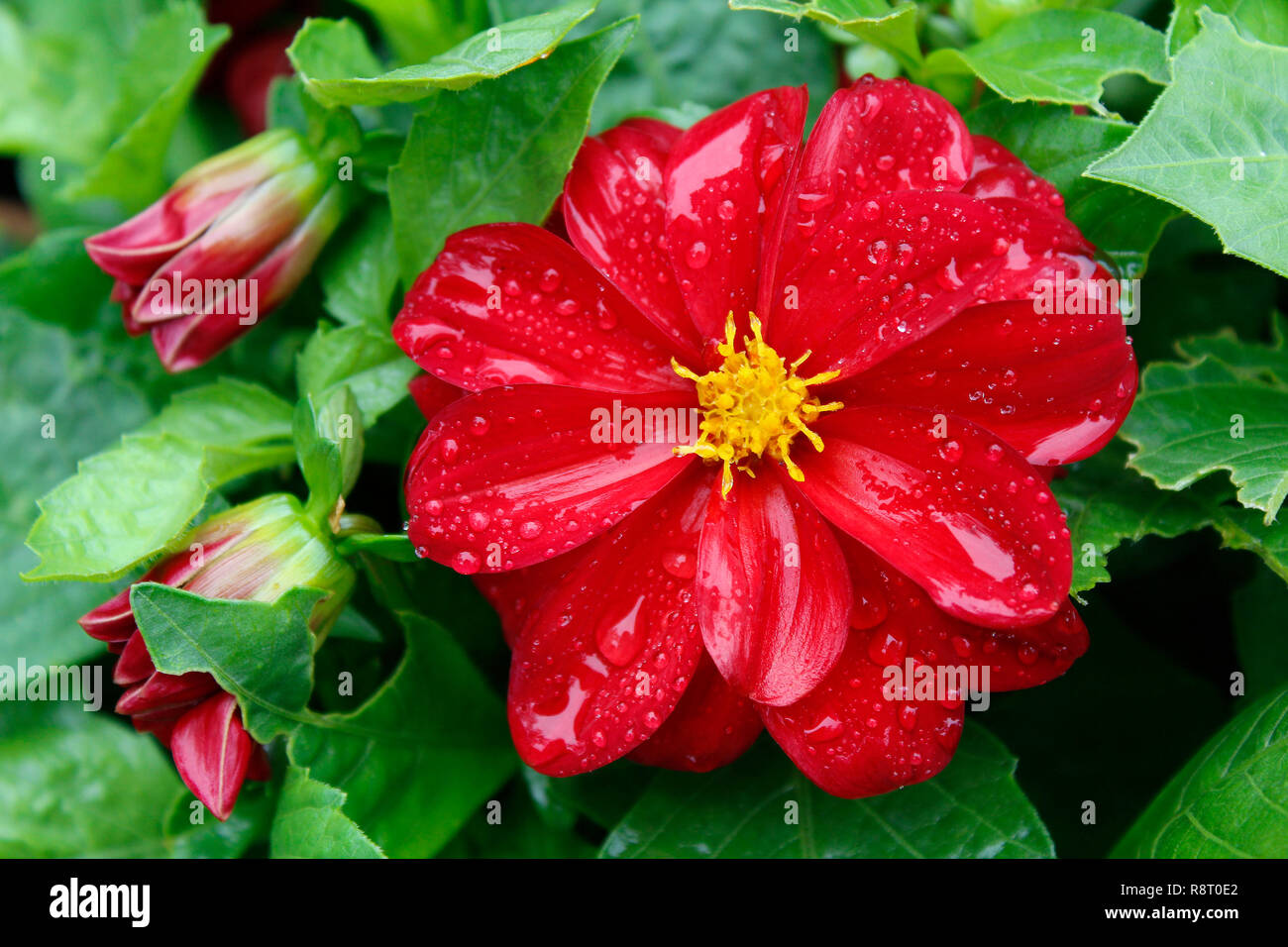 Rain on red flower - Stock Image