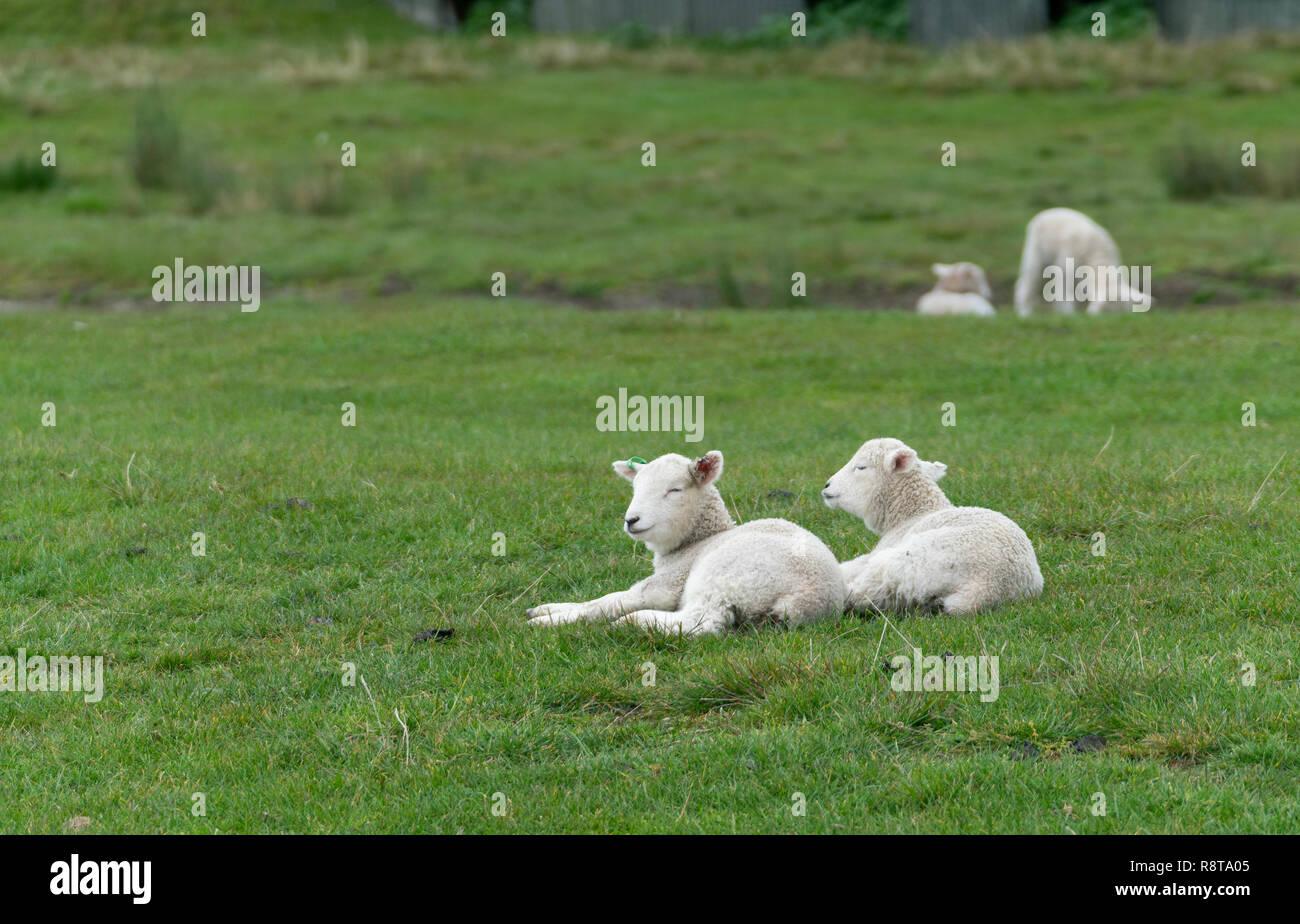 lambs recling on farm in New Zealand Stock Photo