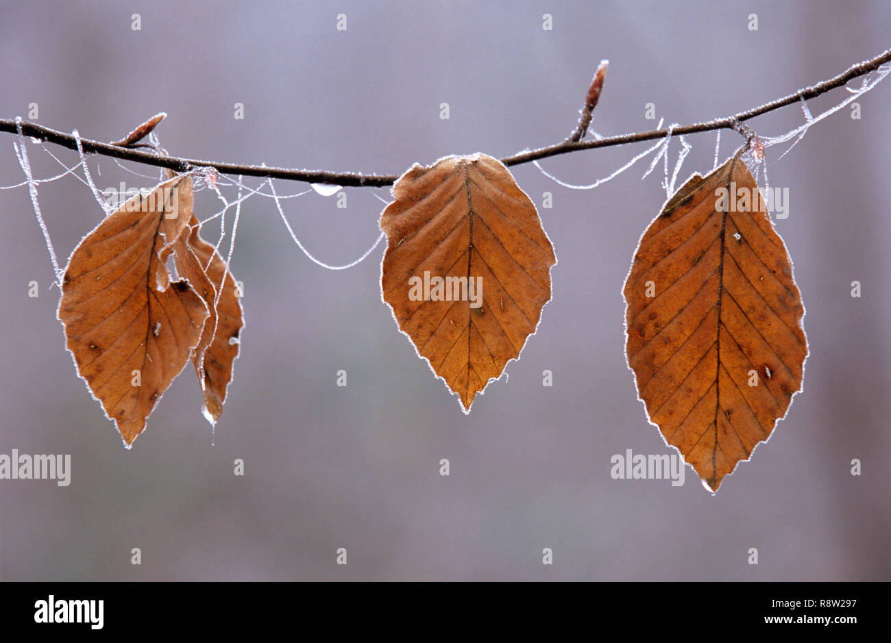 Autumnal beech tree leaves on frosty branch, England, UK Stock Photo
