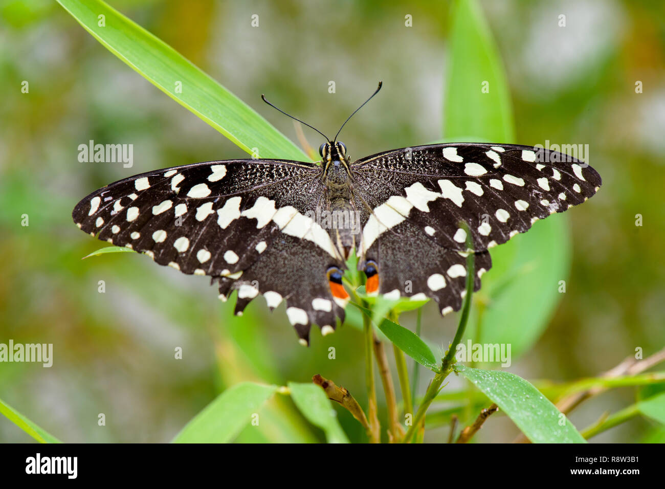 Brush-footed butterfly (Limenitis) on leaf - Stock Image
