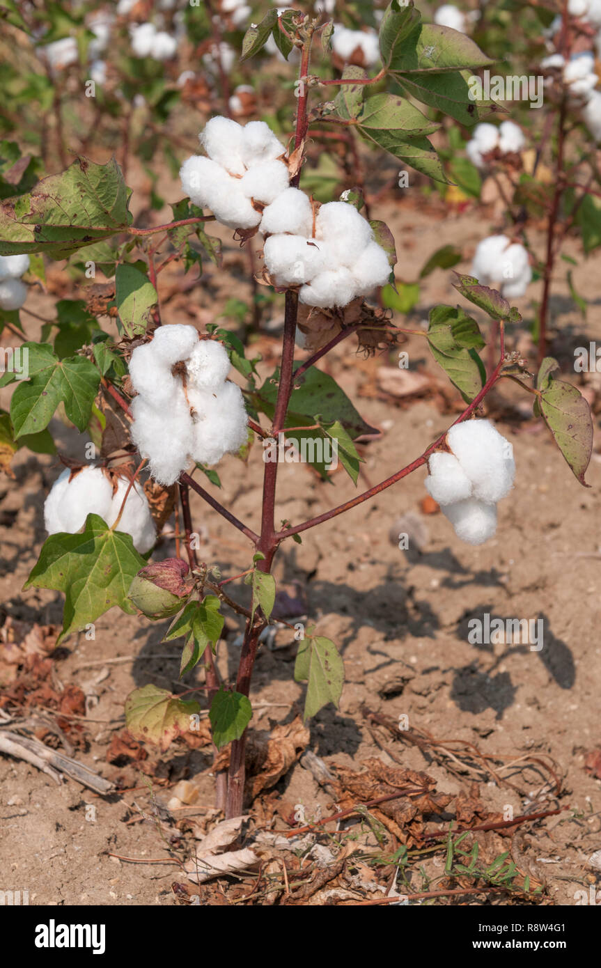 Upland Cotton, 8 Ball Dried Cotton Stem Mexican Cotton Gossypium Hirsutum