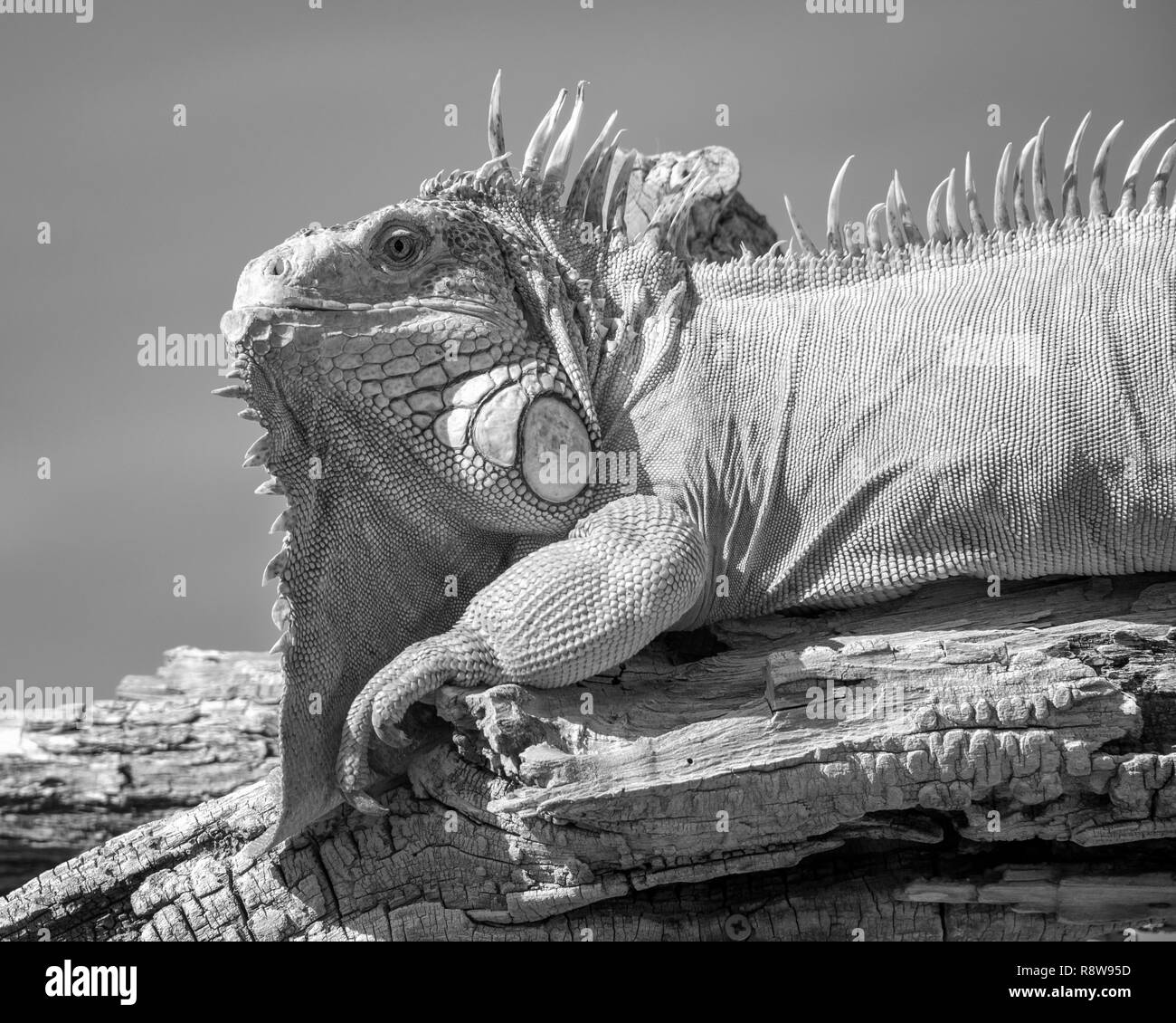 Iguana Perched on a Branch, Black and White - Stock Image