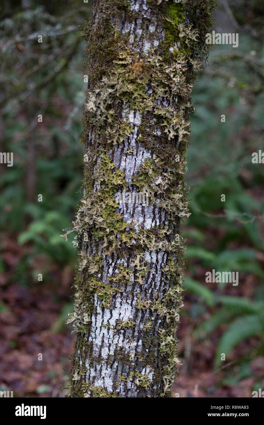 A tree trunk covered with lung lichen, in Eugene, Oregon, USA. - Stock Image