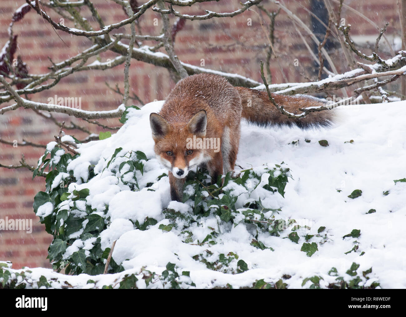 urban Red Fox, Vulpes vulpes, in winter snow standing on garden shed roof, London, United Kingdom Stock Photo