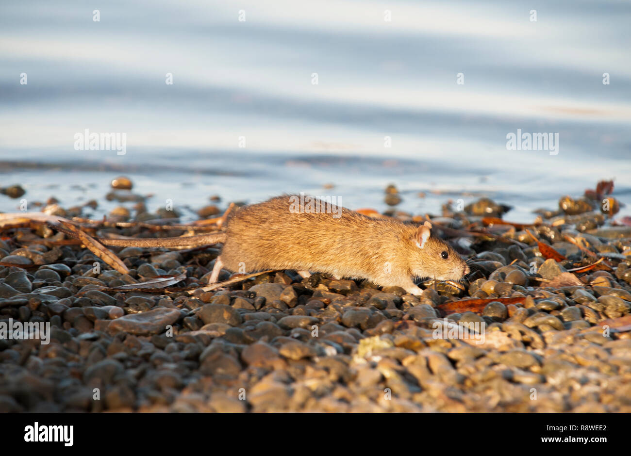 adult Brown Rat, Rattus norvegicus, on the banks of the River Thames, London, United Kingdom - Stock Image