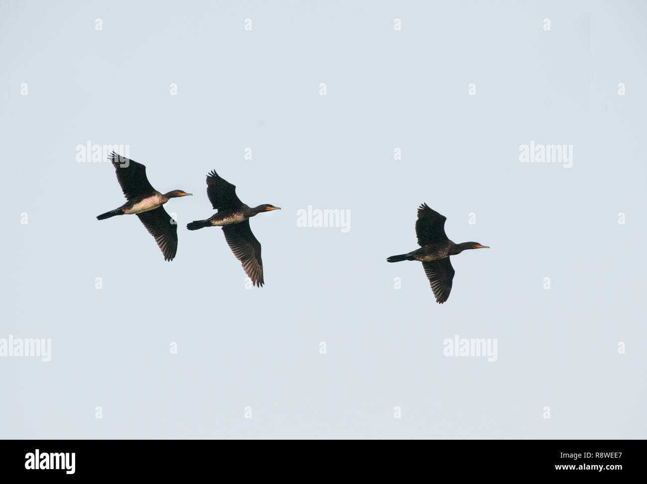 group of Great Cormorant, Phalacrocorax carbo, in flight over Brent Reservoir, London, United Kingdom Stock Photo