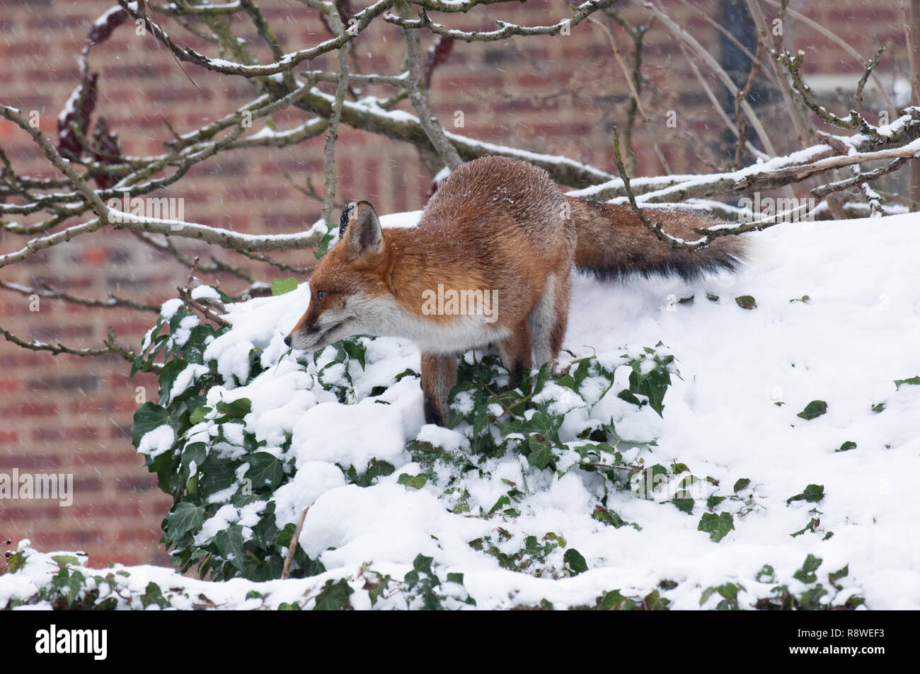 Red Fox, Vulpes vulpes, in winter snow standing on garden shed roof, London, United Kingdom Stock Photo