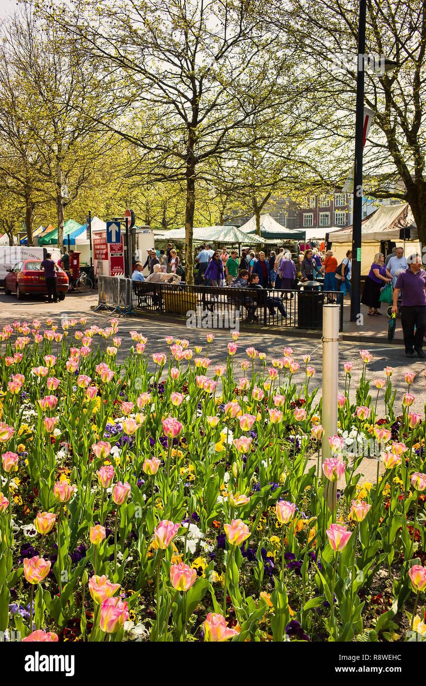 Tulips flowering in urban flower beds in centre of Salisbury city UK - Stock Image