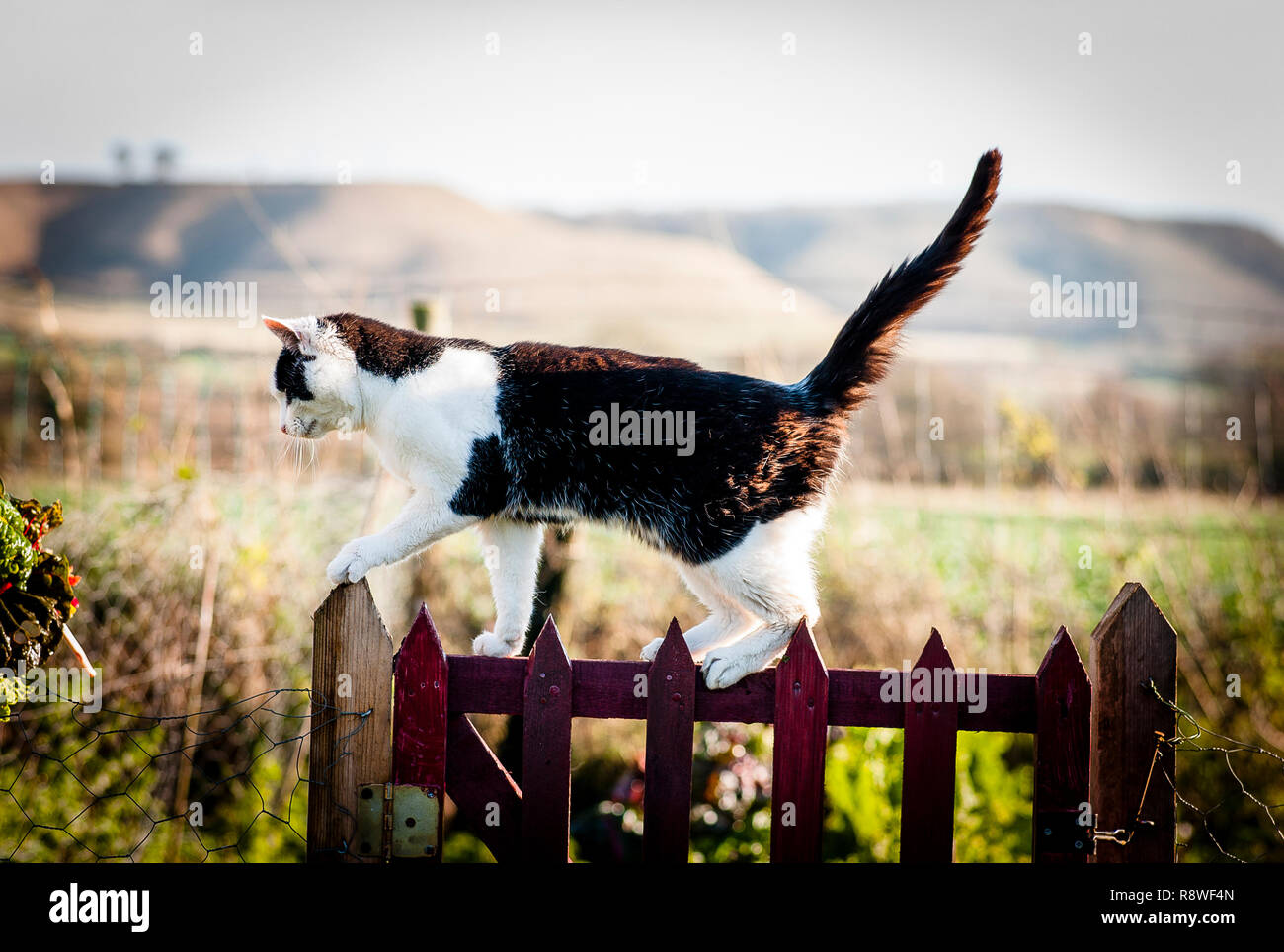 Black and white country cat prowling around a garden gate in December - Stock Image