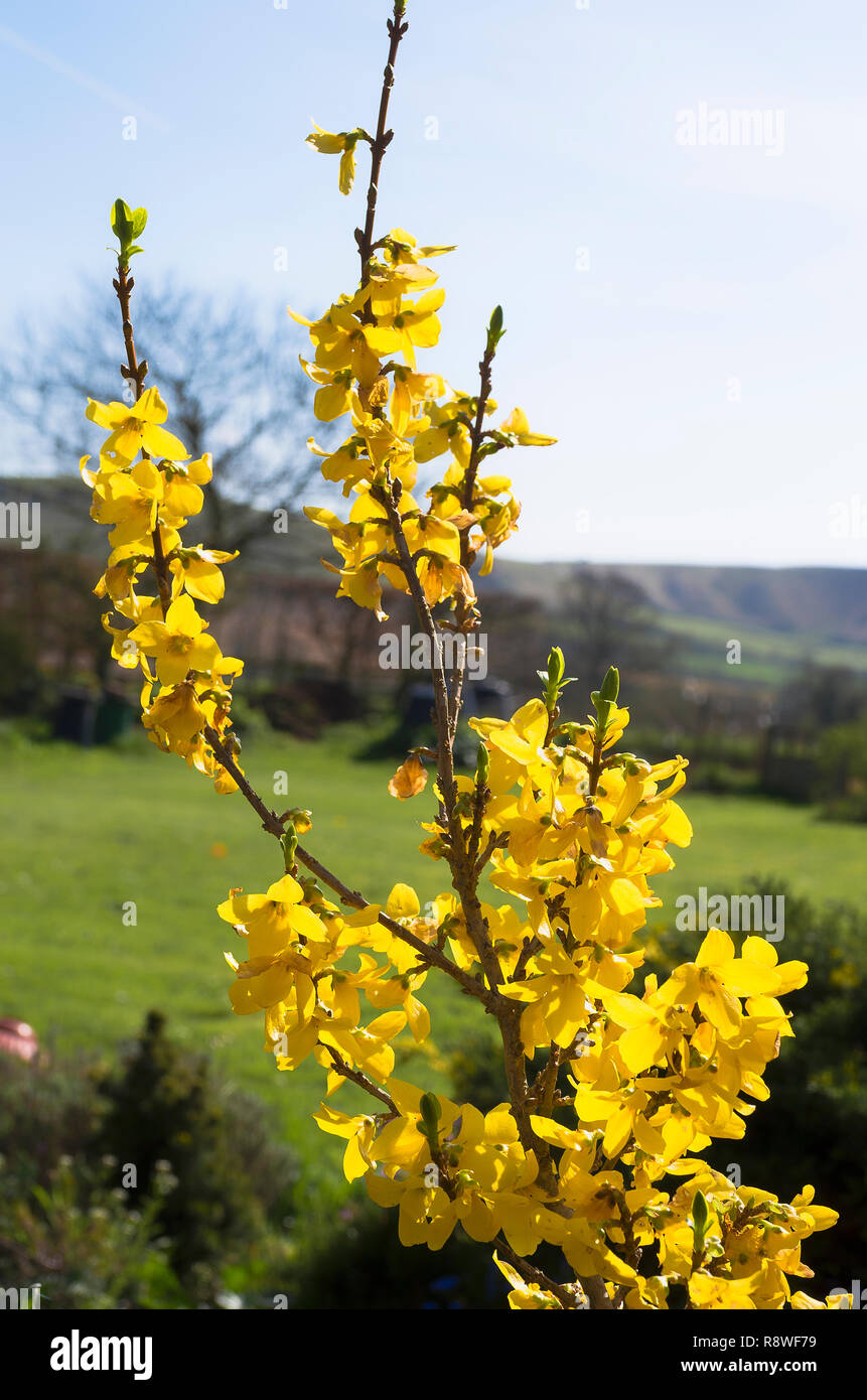 Yellow flowers of Forsythia x intermedia Gold Mine in an English garden in April early Spring Stock Photo