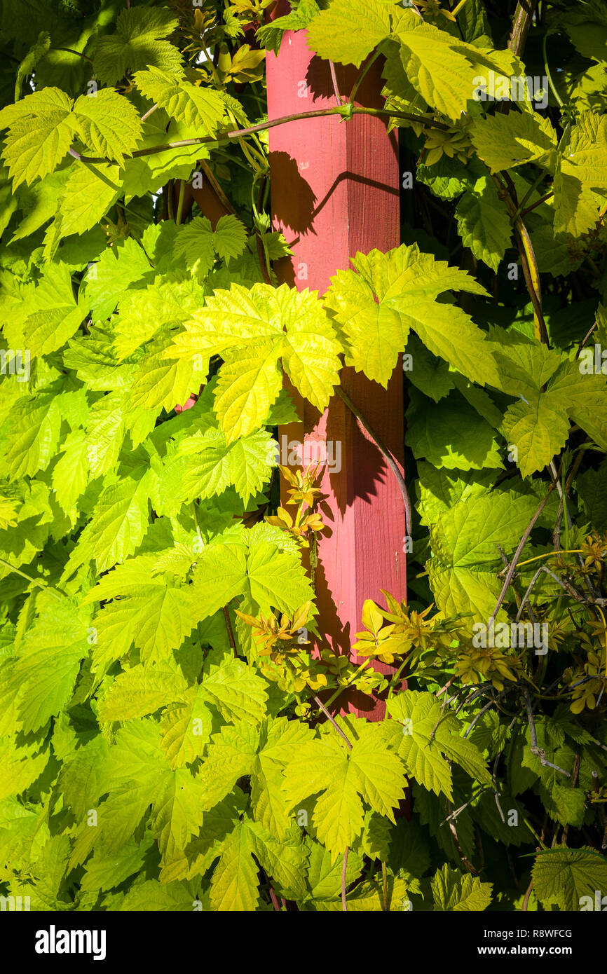 Golden yellow leaves of ornamental hop Humulus lupulus or common hop climbs up a wooden pergola post in an English garden - Stock Image